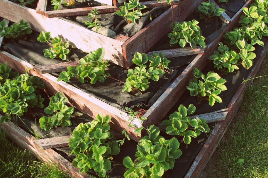 strawberry plants in a sloped garden bed
